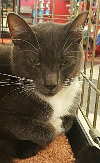 Russian Blue Cat for adoption in Lyons, Illinois - Peter Pan
