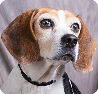 Beagle Dog for adoption in Anna, Illinois - NOSEY