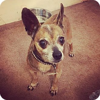 Chihuahua Mix Dog for adoption in Philadelphia, Pennsylvania - DALLAS!