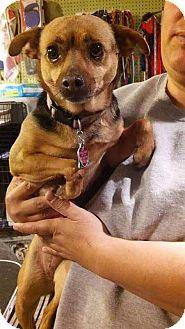 Chihuahua Mix Dog for adoption in Manhattan, Kansas - Gloria