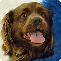 Adopt A Pet :: Brownie - Newington, VA
