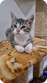 Domestic Shorthair Kitten for adoption in Ashland, Ohio - Toby