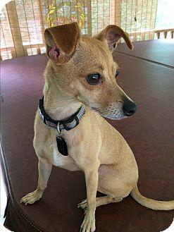 Chihuahua/Italian Greyhound Mix Dog for adoption in Durham, North Carolina - Holly