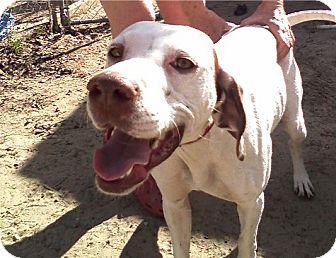 Pointer Dog for adoption in Cantonment, Florida - Girl Girl