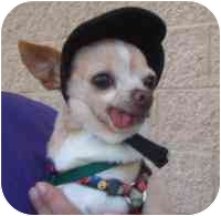 Chihuahua Dog for adoption in House Springs, Missouri - Chip
