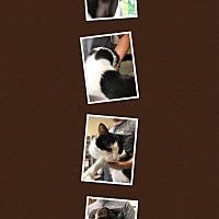 Adopt A Pet :: GIZMO - Cheboygan, MI