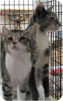 Oriental Kitten for adoption in Davis, California - Rajah