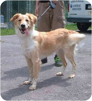 Collie Mix Dog for adoption in Honesdale, Pennsylvania - Bell