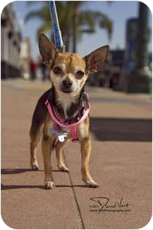 Chihuahua Mix Dog for adoption in San Diego, California - Prince Charles