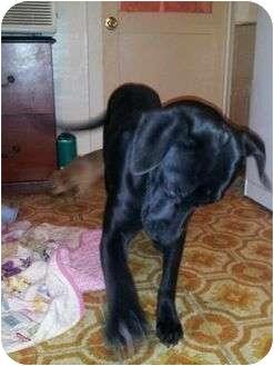 Labrador Retriever Puppy for adoption in Harbor City, California - jelley bean