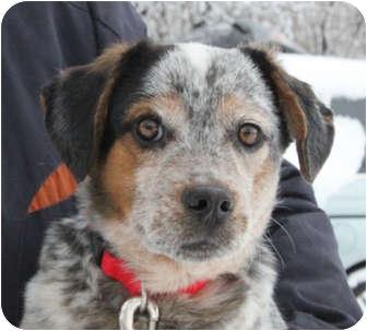 Australian Shepherd/Australian Cattle Dog Mix Dog for adoption in Elgin, Illinois - BABE