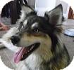 Siberian Husky Mix Dog for adoption in Toronto, Ontario - Sky