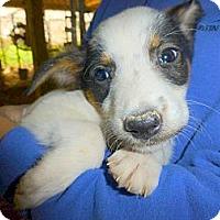 Adopt A Pet :: Sascha - Katy, TX
