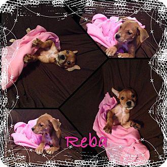 German Shepherd Dog Mix Puppy for adoption in Fort Lauderdale, Florida - reba