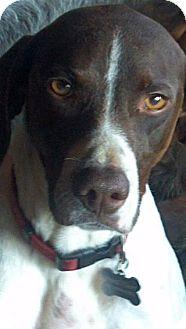 German Shorthaired Pointer/Pointer Mix Dog for adoption in New Smyrna beach, Florida - Jamie Lee