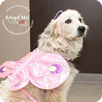 Great Pyrenees Dog for adoption in Troy, Ohio - Penelope