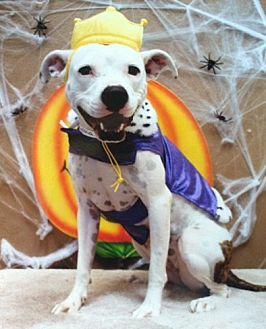 Boxer Mix Dog for adoption in Denton, Texas - Sylvia