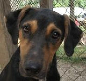 Labrador Retriever/German Shepherd Dog Mix Dog for adoption in Grand Saline, Texas - Todd