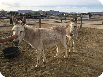 Donkey/Mule/Burro/Hinny for adoption in Lucerne Valley, California - Sundance