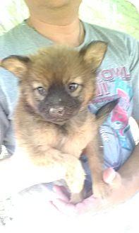 German Shepherd Dog Mix Puppy for adoption in Wytheville, Virginia - Bobby Sue