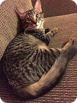 American Shorthair Kitten for adoption in Sugar Land, Texas - Huffy
