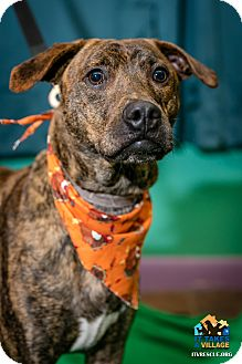 Shepherd (Unknown Type)/Pit Bull Terrier Mix Dog for adoption in Evansville, Indiana - Tigger