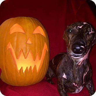 Dachshund Dog for adoption in Marcellus, Michigan - Junior - Juni Adoption Pending