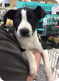 Border Collie Mix Puppy for adoption in Cat Spring, Texas - Oreo