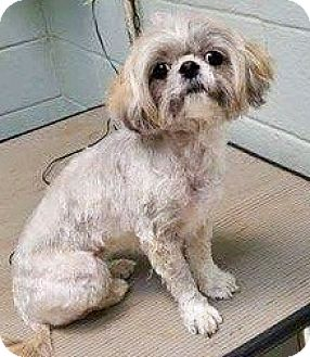 Maltese/Lhasa Apso Mix Dog for adoption in Brattleboro, Vermont - GINNY AND MATTHEW
