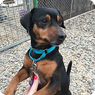 Terrier (Unknown Type, Small) Mix Dog for adoption in Breinigsville, Pennsylvania - Critter