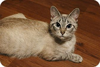 Siamese Cat for adoption in Athens, Georgia - Flora