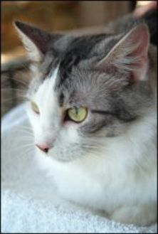 Domestic Longhair/Domestic Shorthair Mix Cat for adoption in Garland, Texas - Angel