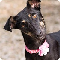 Adopt A Pet :: Juliette from INDIA - Santa Fe, TX