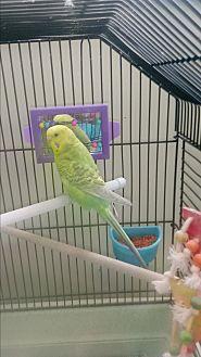 Parakeet - Other for adoption in Villa Park, Illinois - No name