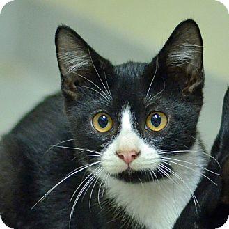 Domestic Shorthair Kitten for adoption in Brooksville, Florida - 10311534