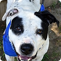 Pit Bull Terrier/Dalmatian Mix Dog for adoption in Staunton, Virginia - Ace
