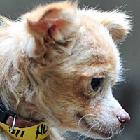 Adopt A Pet :: Cinderella - Vernonia, OR