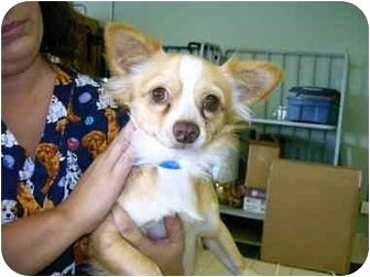 Chihuahua Dog for adoption in Charleston, South Carolina - Guido