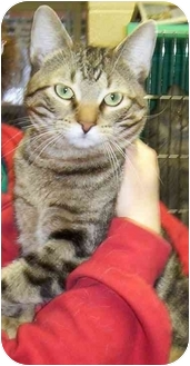 Domestic Shorthair Cat for adoption in Somerset, Pennsylvania - Snickers