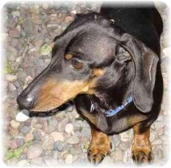 Dachshund Dog for adoption in Wyoming, Minnesota - Bruno