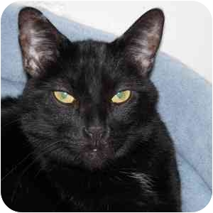 Domestic Shorthair Cat for adoption in Phoenix, Arizona - Erica