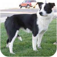 Border Collie Dog for adoption in Denver, Colorado - Shay