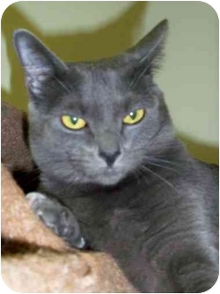 Domestic Mediumhair Cat for adoption in San Clemente, California - STORM