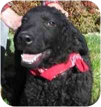 Labrador Retriever Mix Dog for adoption in Evergreen, Colorado - Van Gogh