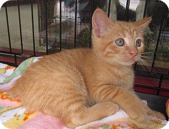 Manx Kitten for adoption in San Diego, California - Puss