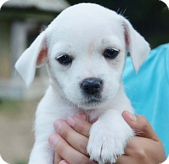 Wirehaired Fox Terrier Mix Puppy for adoption in Brattleboro, Vermont - Luke 1