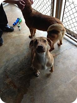 Labrador Retriever/Hound (Unknown Type) Mix Dog for adoption in Covington, Louisiana - Trixie