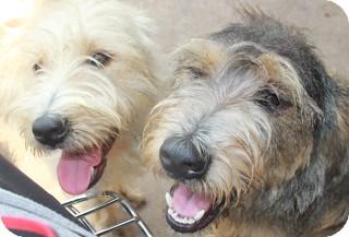 Schnauzer (Miniature) Mix Dog for adoption in Norwalk, Connecticut - Hope and Joy - adoption pend