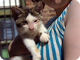 American Shorthair Kitten for adoption in Brooklyn, New York - Stevie
