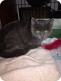 Russian Blue Cat for adoption in Battle Creek, Michigan - Andy